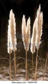 plant flower ornamental grass seed heads stock photos plant