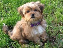 shorkie haircut photos 43 best haircuts for cookie images on pinterest biscotti