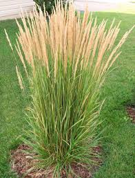 17 top ornamental grasses grasses feathers and gardens