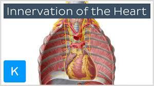 Heart Anatomy Youtube Nerve Supply Of The Heart Anatomy 1 C1 L10 Blood Nerve