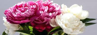 where to buy peonies peonies when to plant pink herbaceous peonies peonies tree care