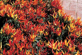 ornamental pepper chilly chili f1 all america selections