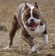 american pitbull terrier illegal pitbull myths u0026 facts k9 research lab