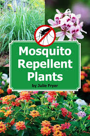 mosquito plants repel mosquitoes with these plants part 1 citronella lemongrass