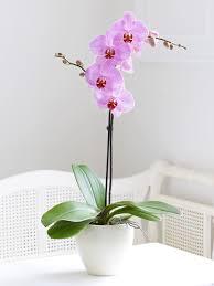 single stem vases potted single stem phalaenopsis orchid