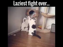 Cat Fight Meme - lazy cat fight youtube