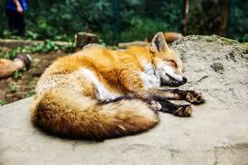 sleeping red fox wallpapers brown fox sleeping free image peakpx
