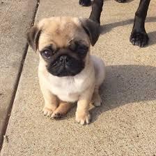 25 cute pug puppies ideas pug puppies cute