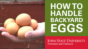 backyard chickens how to handle your backyard eggs youtube