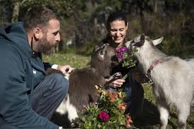 flower delivery service goatgrams a flower delivery service where goats eat the bouquet