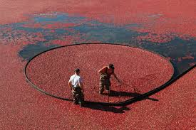 all you need to know about cranberries on the cape u0026 islands