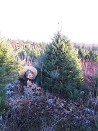 Christmas Trees Dean Young Forestry
