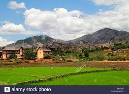 Landscape With Houses by Common Rice Oryza Sativa Landscape With Paddy Fields Houses