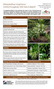 native plants of pennsylvania chionanthus virginicus white fringetree old man u0027s beard master