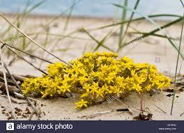 Flowers Plants by Yellow Flowers On Seaside Beach Sedum Genus Of Flowering Plants