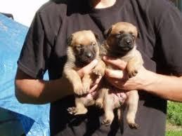 belgian malinois vermont belgian malinois puppies for sale