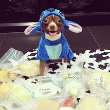 Chihuahua Halloween Costume 25 Cute Dog Costumes Ideas Puppy Costume