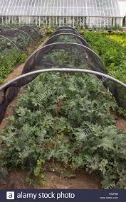 Vegetable Garden Netting Frame by Netting Brassica Stock Photos U0026 Netting Brassica Stock Images Alamy