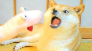 Shiba Meme - shibe dog meme tumblr