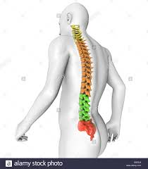 3d Human Anatomy 3d Human Body Spine Anatomy Stock Photo Royalty Free Image