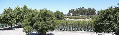 native plant nursery perth tree nursery western australia mature trees advanced trees perth