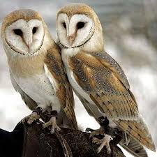 Barn Owl Sounds Facts Top 15 Barn Owl Facts Diet Habitat U0026 More Facts Net
