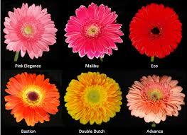 gerbera colors varieties of gerbera with different colors