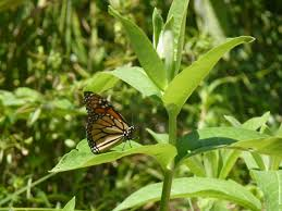 ontario native plants plant milkweed and save the monarch butterflies toronto star