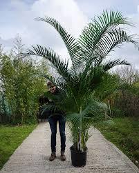 Large Indoor Plants Large Specimen Plants House Of Plants