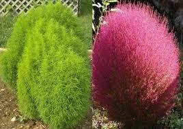 100 kochia scoparia fresh seeds summer cypress seeds