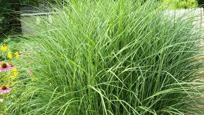 ornament landscaping with ornamental grasses photos stunning