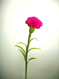 picture of a carnation flower laura williams