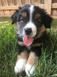 australian shepherd puppies 7 weeks miniature australian shepherd puppy
