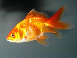 pesci alimentazione pesci piccola guida alla corretta alimentazione tutto ze