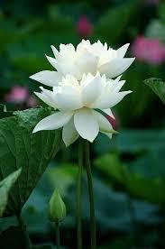 Lotus Flower In Muddy Water - 1156 best lotus flower u0026 water lily flower images on pinterest