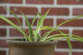 Spider Plant My Spider Plant Is Solid Green U2013 Reasons For A Spider Plant