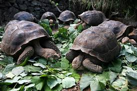 how galápagos giant tortoises have made a comeback csmonitor com