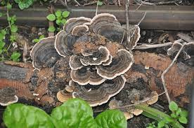 spring has sprung u2026 again fungi fun day earth star u2013 geastrales