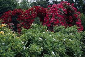 rose garden wallpaper desktops wallpapersafari