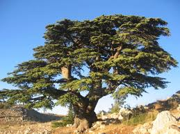 as a palm tree and a cedar in lebanon youtube