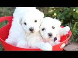 bichon frise kentucky a bucket full of bichon frise puppies youtube