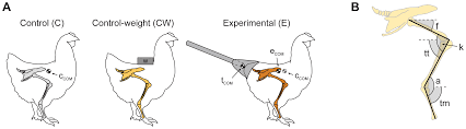 walking like dinosaurs chickens with artificial tails provide