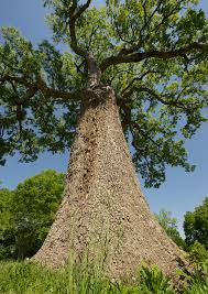 history lesson battle of nashville basket oak tree
