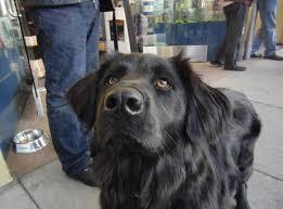 australian shepherd newfoundland will gaze adoringly for treats the dogs of san franciscothe