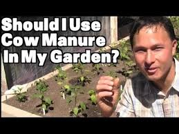 should i use cow manure in my vegetable garden u0026 more organic