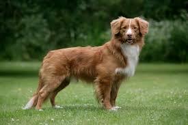 australian shepherd and golden retriever mix 10 adventurous dog breeds