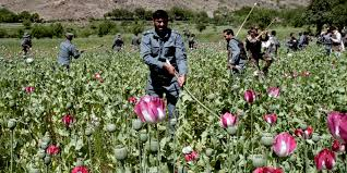opium all u0027s well with afghanistan opium trade the sleuth journal