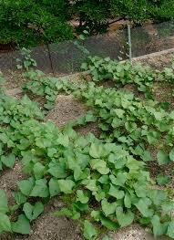 growing sweet potatoes bonnie plants