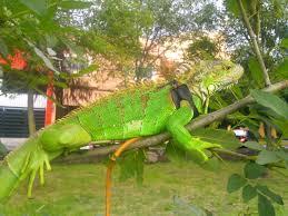 imágenes de iguanas verdes iguana verde criteriosantafe