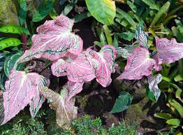 how to plant caladium bulbs ebay